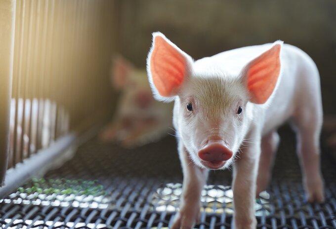 Extra ondersteuning voor Belgische varkensboeren
